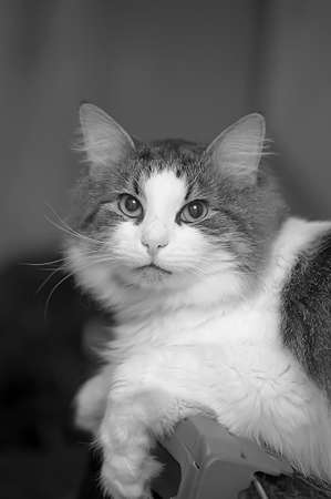 White and gray cat,  black and white photo  photo