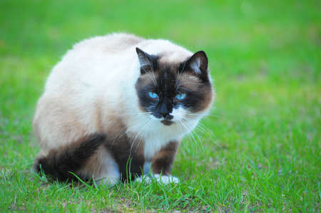 Portrait of a Thai cat photo