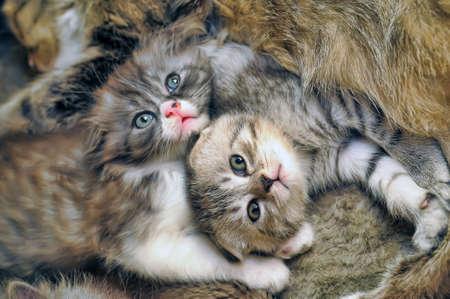 two lop-eared kitten  Stock Photo - 17137546