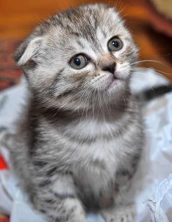 Striped kitten Stock Photo - 12987579