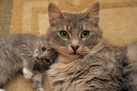 gray cat with a kitten Stock Photo - 13226880