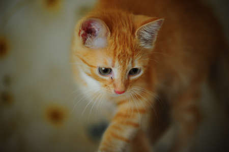 ginger kitten photo