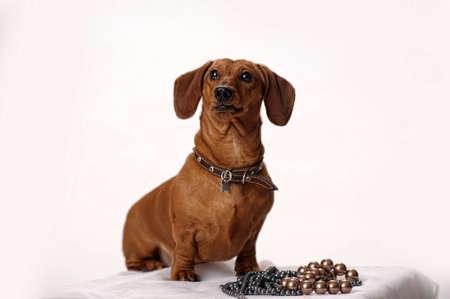 brown dachshund photo