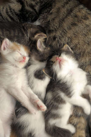 youngly: kitten sleeping next to a cat Stock Photo