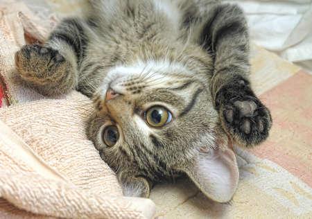 mild: gray tabby kitten Stock Photo