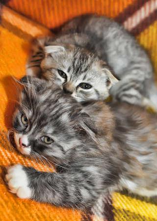 Two little scottish fold kittens photo