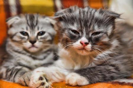 Two little scottish fold kittens Stock Photo - 13929918