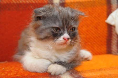 silver eared: Curious striped scottish fold kitten Stock Photo