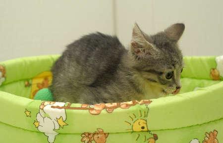 gray tabby kitten Stock Photo - 13443900