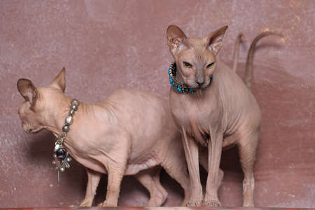 Two bald sphinx cats photo