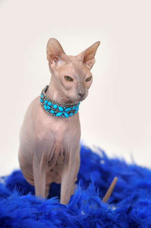 Sphynx cat Stock Photo - 13635335