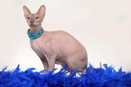 Sphynx cat Stock Photo - 13663405