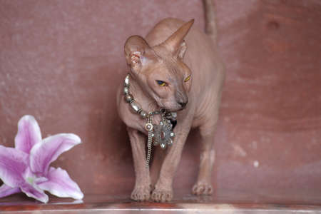 Sphynx cat photo