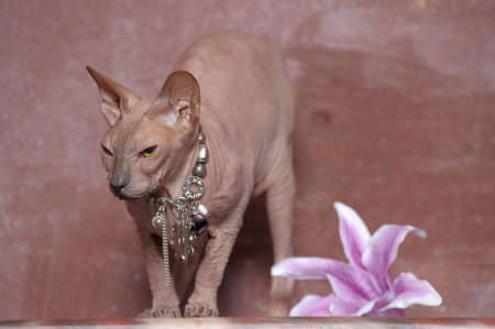 Sphynx cat Stock Photo - 13664000