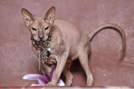 Sphynx cat Stock Photo - 13643320