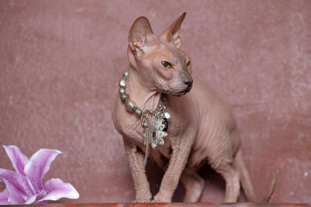 Sphynx cat Stock Photo - 13663404