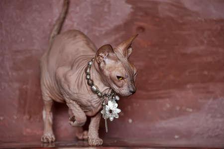 Sphynx cat Stock Photo - 13664005