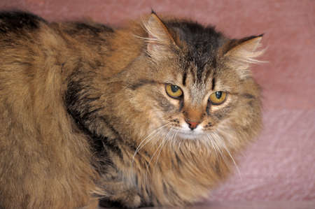 fluffy Siberian cat photo