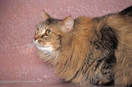 fluffy Siberian cat photo