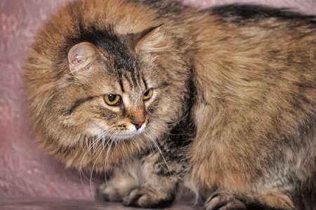 fluffy Siberian cat Stock Photo - 13664128