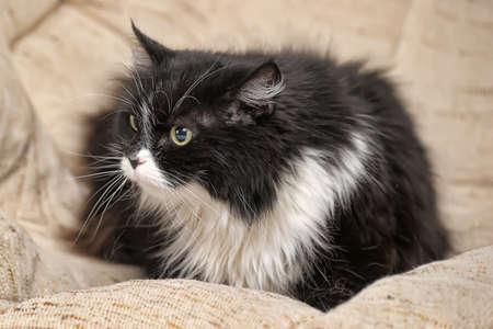moggi: Black   white cat