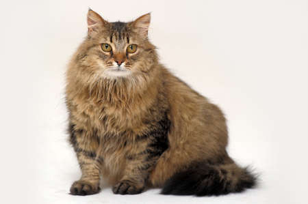 Fluffy Siberian cat Stock Photo - 13663386