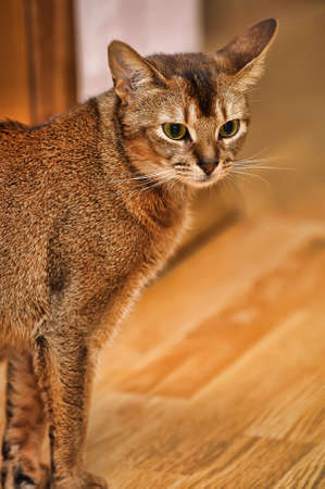 Abyssinian cat Stock Photo - 13837949