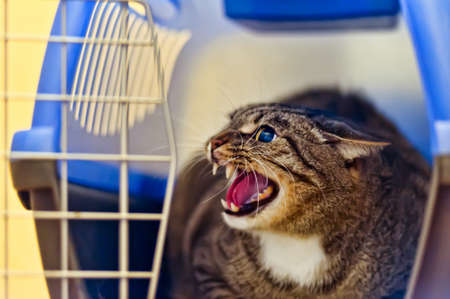 angry cat hissing aggressive Stock Photo - 13734583