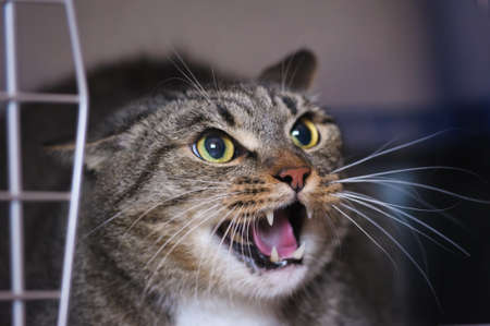 hissing: angry cat hissing aggressive  Stock Photo