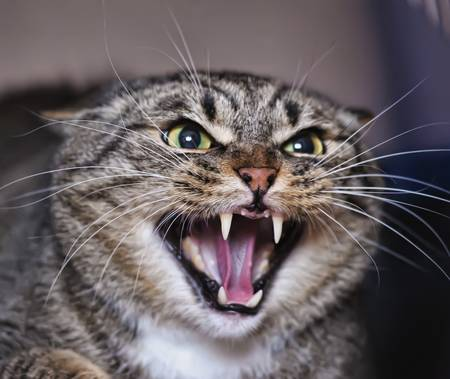 housecat: angry cat hissing aggressive  Stock Photo