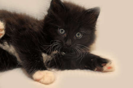 fluffy black kitten with a white breast  Stock Photo