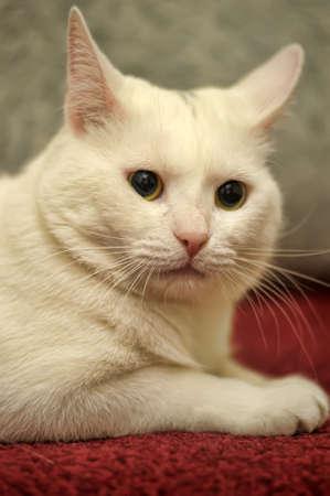 white cat on a sofa Stock Photo - 13813287