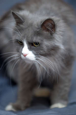 gray with white a fluffy cat photo