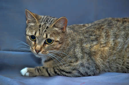 European tiger cat photo