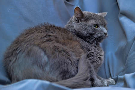 Russian blue cat Stock Photo - 13813281