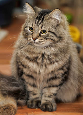 Striped fluffy kitten Stock Photo - 17909459