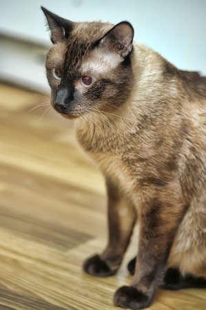 Thai cat photo