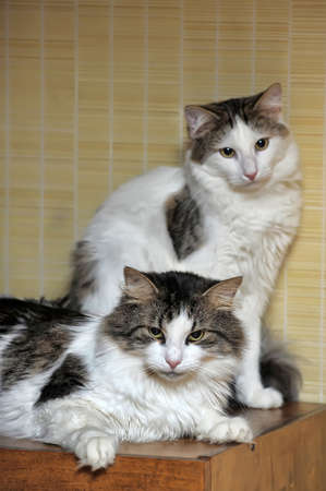 two white with gray a cats photo