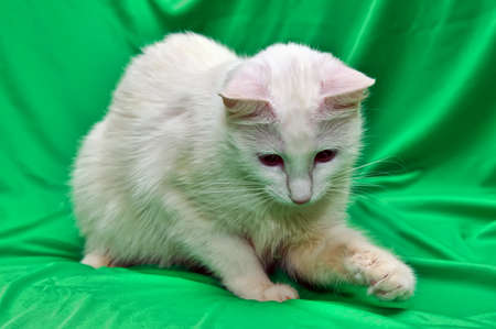 white cat on a green background Stock Photo - 13837871