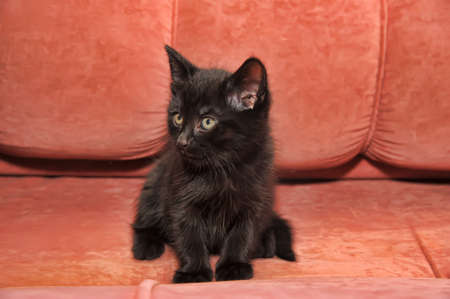 scamp: black kitten on the couch