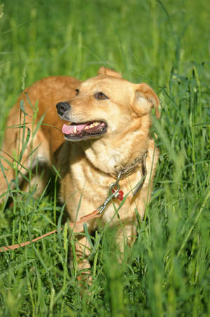 red dog on a green background Stock Photo - 13910355