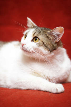 white with a gray cat on a red background photo