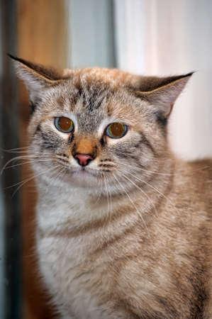 Thai cat Stock Photo - 13910658