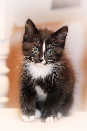 pussy cat: black and white fluffy kitten Stock Photo