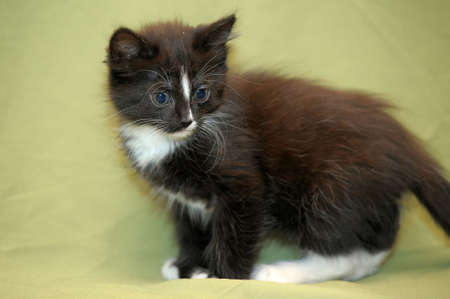 black and white fluffy kitten Stock Photo - 14161067