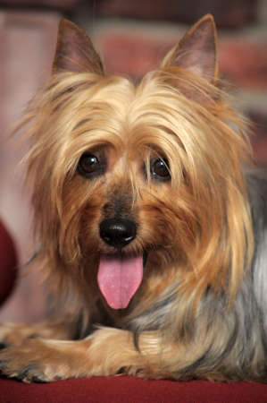 behave: Silky Terrier