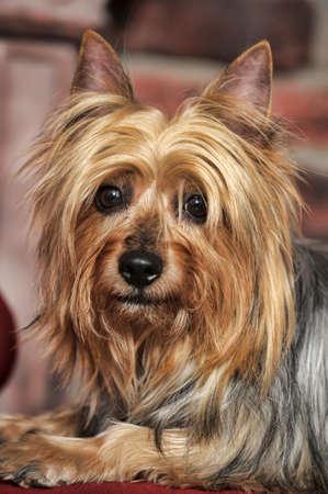 furred: Silky Terrier