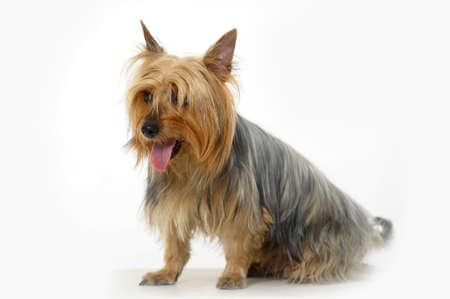 silky terrier: Terrier Silky Archivio Fotografico