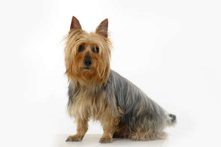 silky hair: Silky Terrier