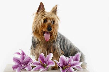 Silky Terrier photo